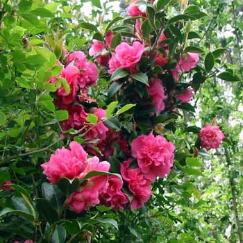 Name:  pink-camellia-flower.jpg