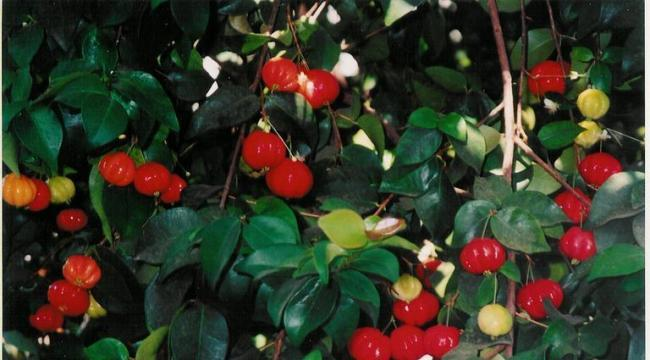 Name:  surinam%20cherry.jpg
