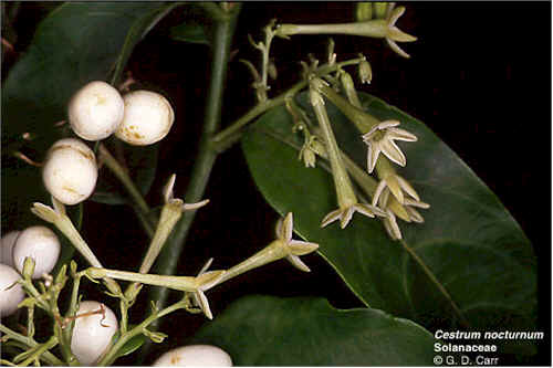 Name:  cestrum.jpg