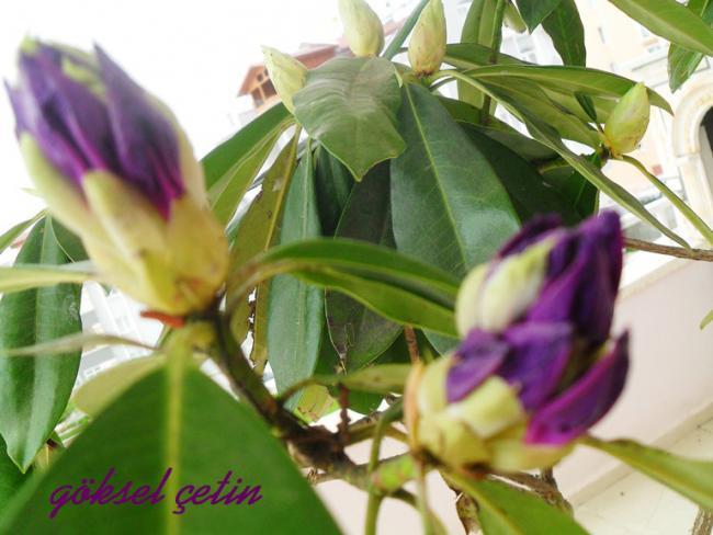 Name:  Rhododendron Ponticum (10).jpg Views: 886 Size:  44.2 KB