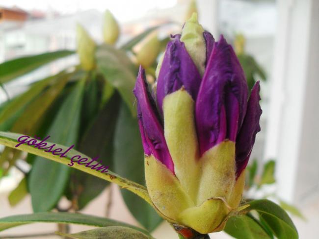 Name:  Rhododendron Ponticum (9).jpg Views: 939 Size:  34.0 KB