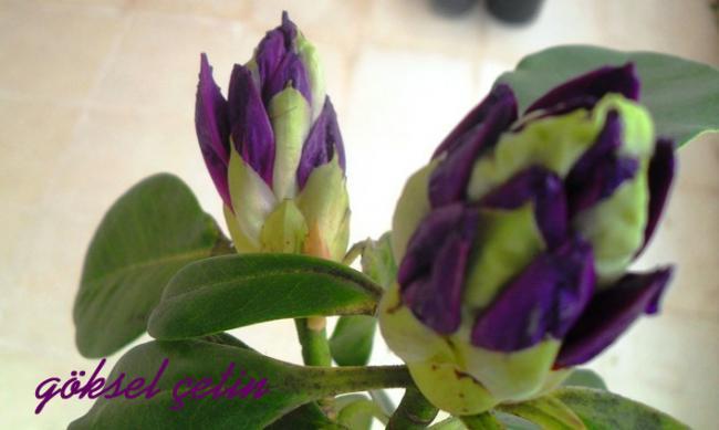 Name:  Rhododendron Ponticum (6).jpg Views: 923 Size:  27.6 KB