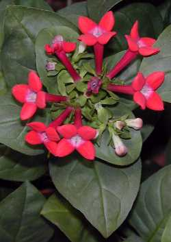 Name:  Bouvardia_ternifolia2.jpg
