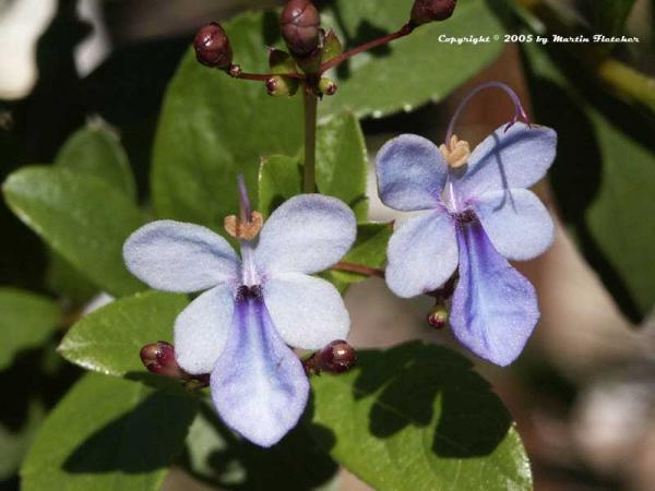 Name:  Clerodendrum-ugandense.jpg