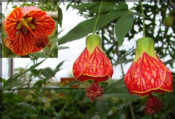 Name:  abutilon hybridum4.JPG