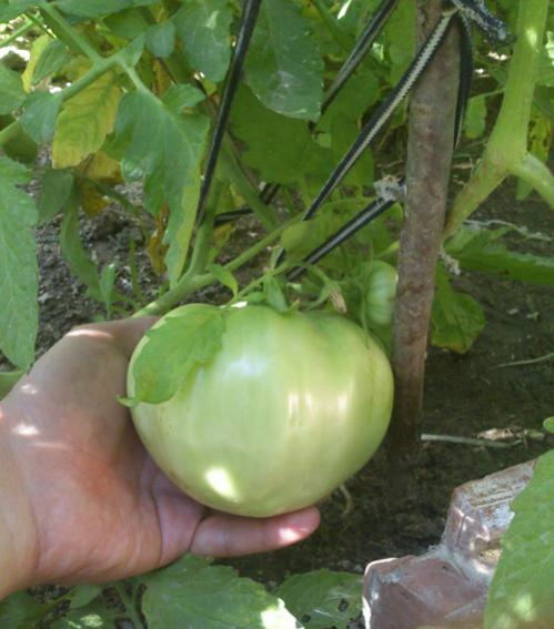 Name:  giant_tomato.jpg