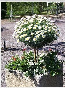 Name:  Argyranthemum frutescens.jpg Views: 405 Size:  33.6 KB