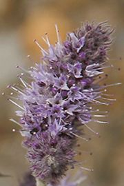 Name:  mentha%20longifolia_icon.jpg