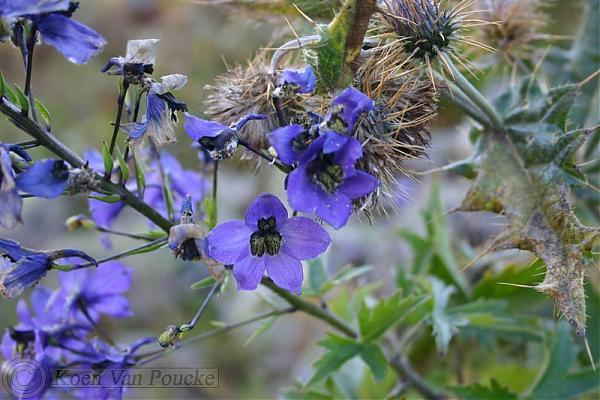 Name:  Delphinium araraticum.jpg Views: 555 Size:  47.6 KB