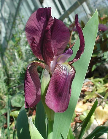 Name:  Iris.taochia.tm1.jpg