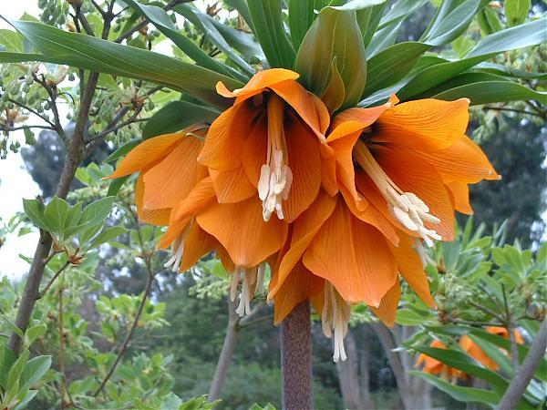 Name:  fritillaria-imperialis.jpg Views: 18244 Size:  62.1 KB