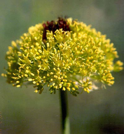 Name:  Alliumchrysantherum.jpg