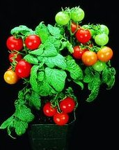 Name:  Red_Robin_Tomato_Seeds.jpg