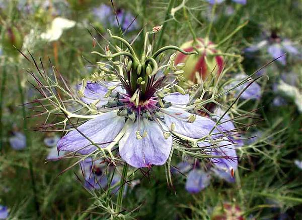 Name:  Nigella_arvensis.jpg