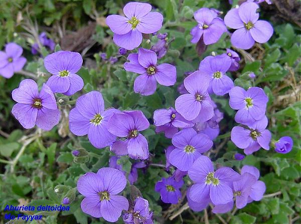 Name:  Aubrieta_deltoidea.jpg