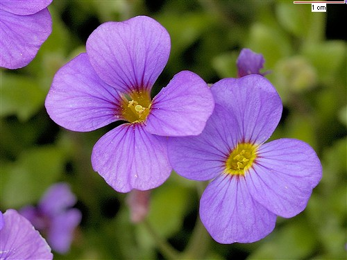 Name:  aubrieta_deltoidea1.jpg