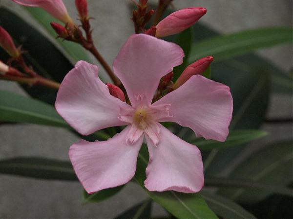 Name:  Nerium oleander1.jpg Views: 2831 Size:  27.3 KB
