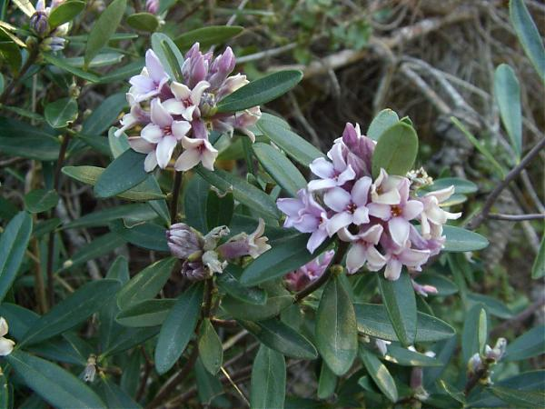 Name:  Daphne sericea.jpg Views: 4868 Size:  50.6 KB