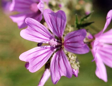 Name:  malva_sylvestris.jpg