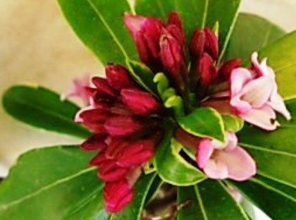 Name:  Daphne odora 'Aureomarginata'.JPG Views: 3534 Size:  35.0 KB