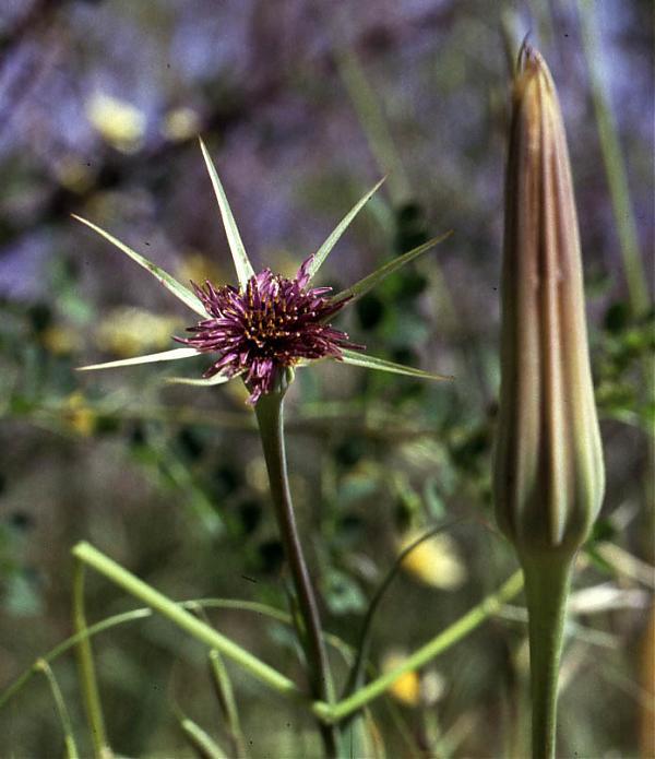 Name:  Tragopogon longirostis.jpg Views: 1336 Size:  49.9 KB