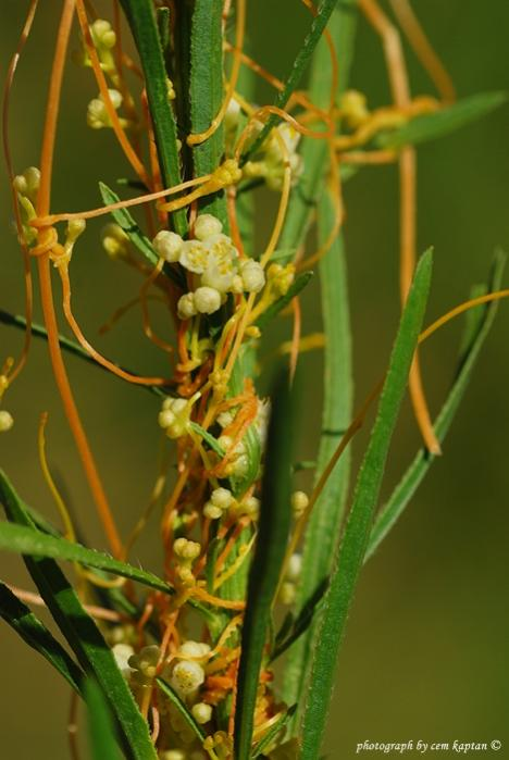 Name:  Cuscuta_Approximata (1).jpg