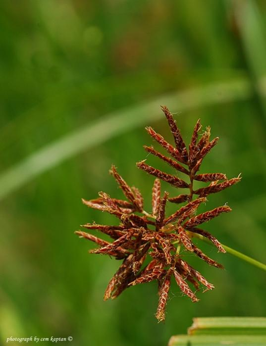 Name:  Cyperus_Longus (4).jpg