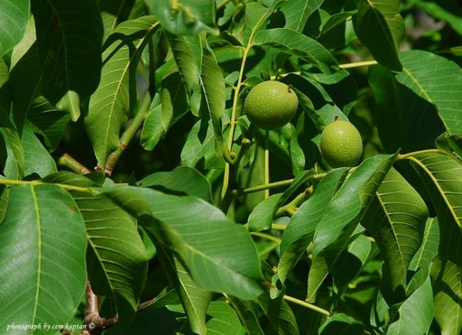 Name:  Juglans_Regia -Ceviz-Juglandaceae (1).jpg Views: 1056 Size:  55.4 KB