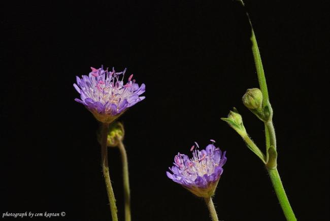 Name:  Scabiosa_Sicula-Uyuz-Otu.jpg