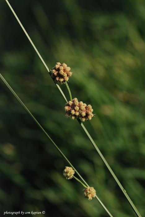 Name:  Juncus_Effusus-SAZOTU-HASIROTU (5).jpg Views: 903 Size:  26.8 KB