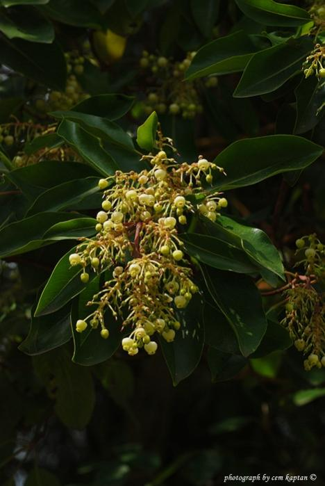 Name:  arbutus-andrachne.jpg