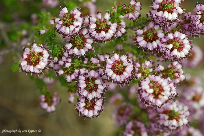 Name:  Erica_Manipuliflora_Funda-Piren-Supurgecicegi (4).jpg Views: 5075 Size:  59.0 KB