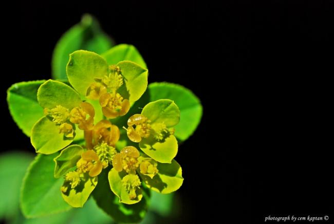 Name:  Euphorbia_Stricta-Gozotu (1).jpg