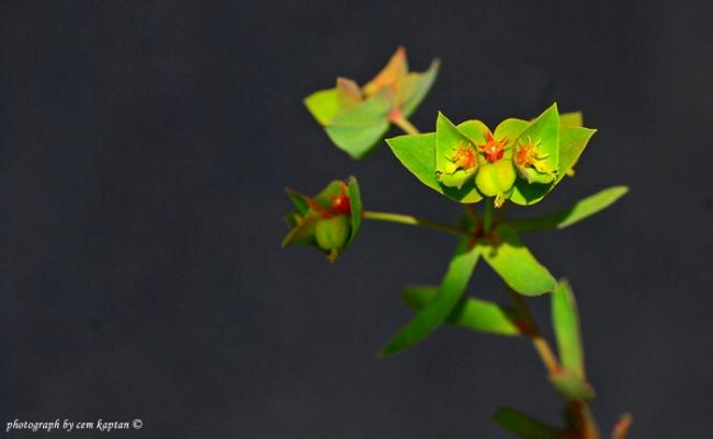Name:  Euphorbia_Taurinensis-GUMULDUR (16).jpg