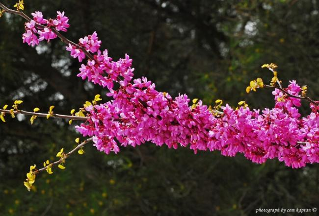 Name:  Cercis_siliquastrum (4).jpg