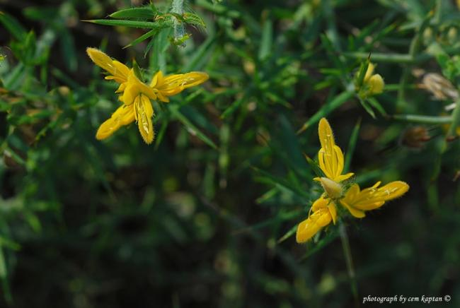 Name:  Genista_Acanthoclada (2).jpg
