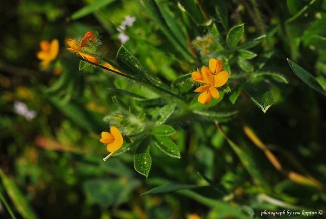 Name:  Hymenocarpus_Circinnatus (5).jpg Views: 1240 Size:  35.8 KB