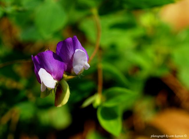 Name:  Lathyrus_Laxiflorus-NIF (4).jpg