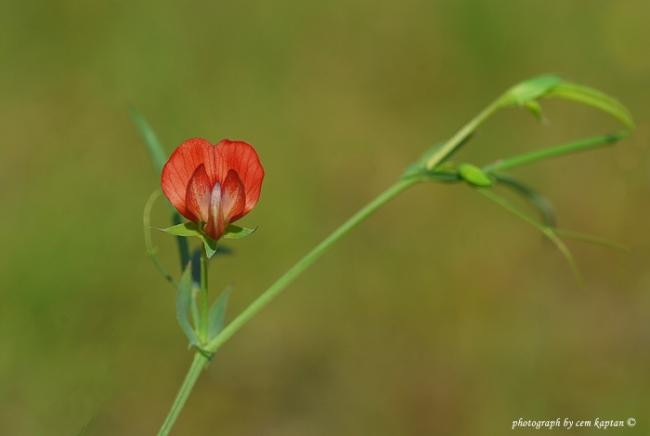 Name:  Lathyrus_Setifolius-BAYRAKLI (2).jpg