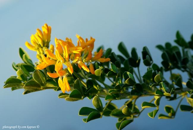Name:  Medicago_Arborea-Yoncacalisi (18).jpg