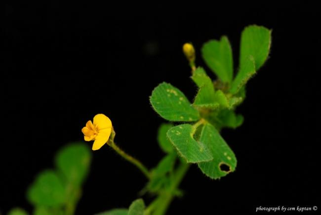 Name:  Medicago_Minima (1).jpg