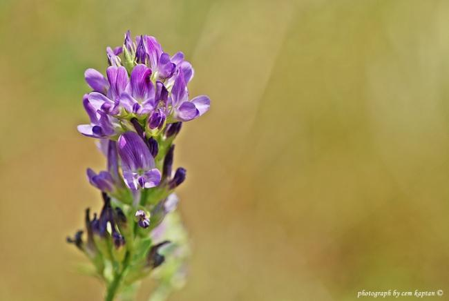 Name:  Medicago_Sativa (1).jpg