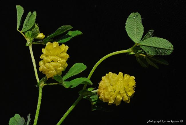 Name:  Trifolium_Campestre.jpg