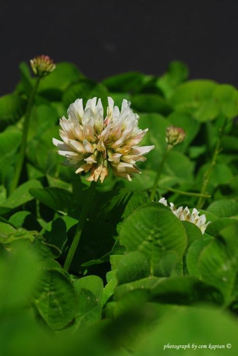 Name:  Trifolium_Fragiferum_var._Fragiferum.jpg