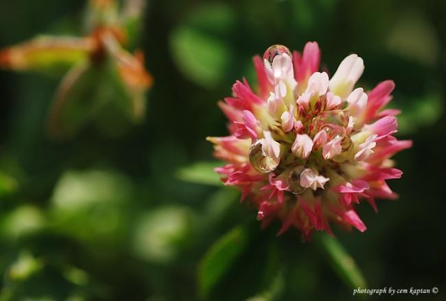 Name:  Trifolium_Hybridum_L.-Melez_Yonca_Isveç-Ucgulu (18).jpg Views: 1625 Size:  26.2 KB