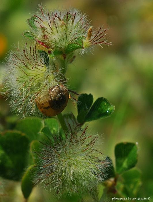 Name:  Trifolium_Pilulare.jpg