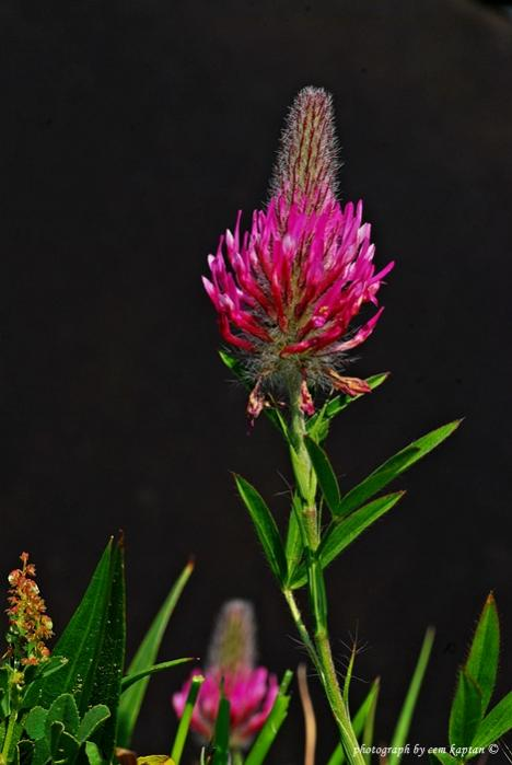 Name:  Trifolium_Purpureum-Kirmizi-Yonca (1).jpg Views: 1480 Size:  33.9 KB