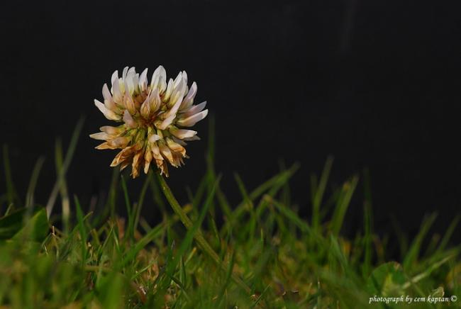 Name:  Trifolium_Repens-Akucgul (2).jpg