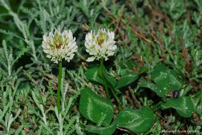Name:  Trifolium_Scutatum-EUBB (1).jpg Views: 1376 Size:  56.6 KB