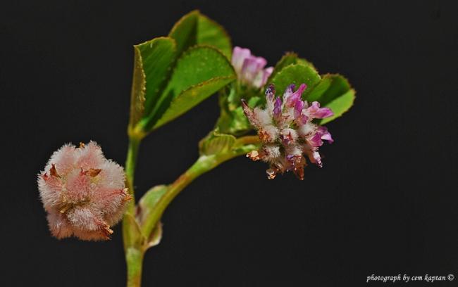 Name:  Trifolium_Tomentosum (11).jpg Views: 1332 Size:  20.9 KB